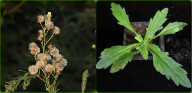 צמח חודש אָב - קַיֶּצֶת מְסֻלְסֶלֶת Conyza bonariensis