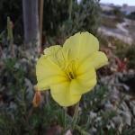 נֵר- הַלַּיְלָה הַחוֹפִי Oenothera drummondii