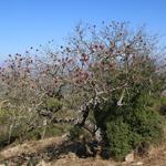 אֵלָה אַטְלַנְטִית Pistacia atlantica