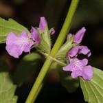 אֶשְׁבָּל מְעֹרָק Lamiaceae
