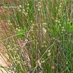 אַגְמוֹן הַכַּדּוּרִים - Scirpoides holoschoenus